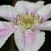 Clematis Study 2 Poster