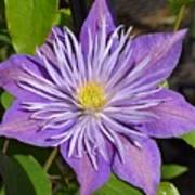 Clematis 'sunnyside' Poster