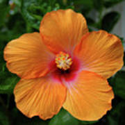 Clementine Hibiscus Poster