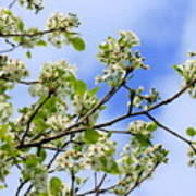 Flowering Pear Poster