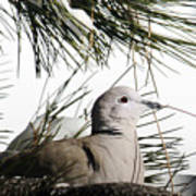 Close Up African Collared Dove Poster
