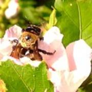 Close Up Bumble Bee Climbing Out Of Hibiscus Flower Poster