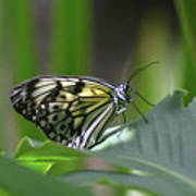 Close Up Look At A Paper Kite Butterfly On Foliage Poster