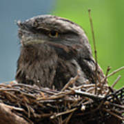Close Up Look At A Tawny Frogmouth Sitting In A Nest Poster