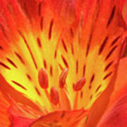 Close-up Of A Peruvian Lily Poster