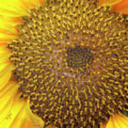 Close Up Of A Sunflower Head Poster