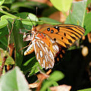 Close-up Of A Vibrant Gulf Fritilary Butterfly  Poster