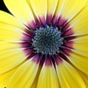Close-up Of A Yellow African Daisy Poster
