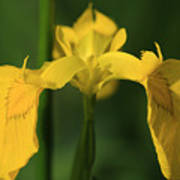 Close Up Of A Yellow Bearded Iris Poster