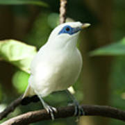 Close-up Of Bali Myna Bird In Trees Poster