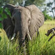 Close-up Of Elephant Behind Bush Facing Camera Poster