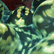 Close-up Of Giant Clam, Tridacna Gigas Poster