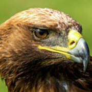 Close-up Of Golden Eagle With Turned Head Poster