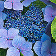 Close-up Of Hydrangea Flowers Poster