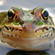 Close-up Of Leopard Frog Poster