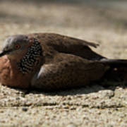 Close-up Of Mottled Pigeon On Sandy Ground Poster