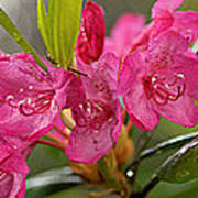 Close-up Of Pink Horatio Flowers Poster