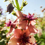 Close-up Of Pink Mullein Flowers Poster