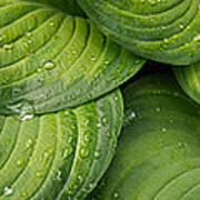 Close-up Of Raindrop On Green Leaves Poster