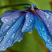 Close-up Of Raindrops On Blue Flowers Poster