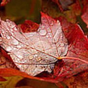 Close-up Of Raindrops On Maple Leaves Poster