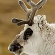 Close-up Of Reindeer Head On Snowy Ridge Poster