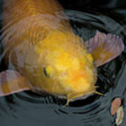 Close Up Of Single Large Yellow Koi Fish With Whiskers Poster