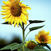 Close Up Of Sunflowers Poster by Philippe Doucet