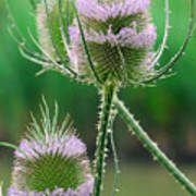 Close Up Of Teasel Blossoms Revealing Poster