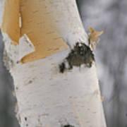 Close-up Of The Bark Of A Birch Tree Poster by Vlad Kharitonov