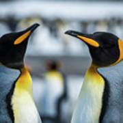Close-up Of Two King Penguins In Colony Poster