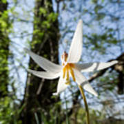 Close-up Of White Trout Lily Poster