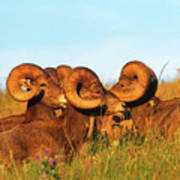 Close Up Portrait Group Of Big Bighorn Mountain Sheep Rams Poster