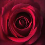 Close Up Red Roses Flowers Art Work Photography Poster