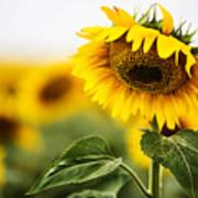 Close Up Single Sunflower In South Dakota Poster