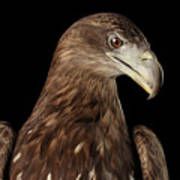 Close-up White-tailed Eagle, Birds Of Prey Isolated On Black Bac Poster