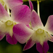 Close View Of A Pink Orchid Flowers Poster