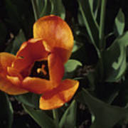 Close View Of A Tulip Poster