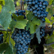 Close View Of Chianti Grapes Growing Poster