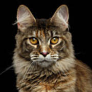 Closeup Maine Coon Cat Portrait Isolated on Black Background Poster