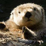 Closeup Of A Captive Sea Otter Making Poster by Tim Laman