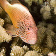 Closeup Of A Freckled Hawkfish Poster