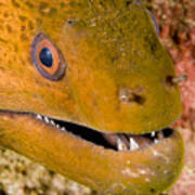 Closeup Of A Giant Moray Eel Poster