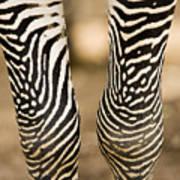 Closeup Of A Grevys Zebras Legs Equus Poster