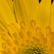Closeup Of A Yellow Chrysanthemum Poster