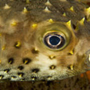 Closeup Of A Yellowspotted Burrfish Poster by Tim Laman