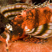 Closeup Of An Ocellated Lionfish Poster