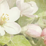 Closeup Of Apple Blossoms In Early Poster by Sandra Cunningham