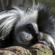 Closeup Of Black And White Angolian Primate Sleeping On Log Raft Poster