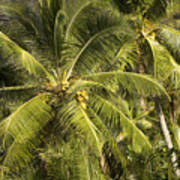 Closeup Of Coconut Palm Trees Poster